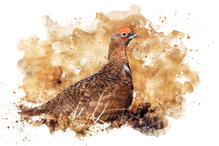 red grouse shooting guide